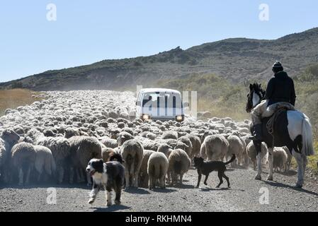 Minibus surrounded by a huge flock of sheep, driven by a gaucho on horseback, between Porvenier and Ushuaia, Tierra del Fuego - Stock Image