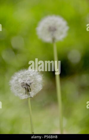 dandelion (Taraxacum) - Stock Image
