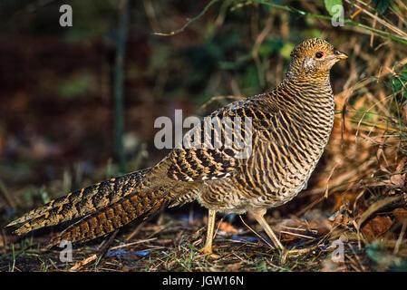 female Golden Pheasant, (Chrysolophus pictus), Breckland, East Anglia, United Kingdom - Stock Image