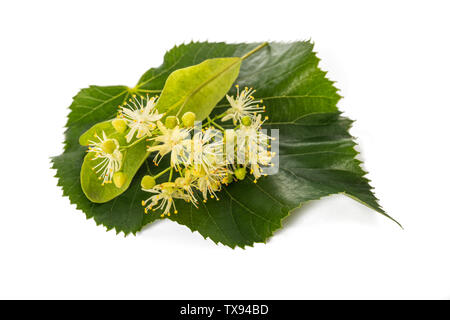 linden leaf with bract and flowers isolated on white background - Stock Image
