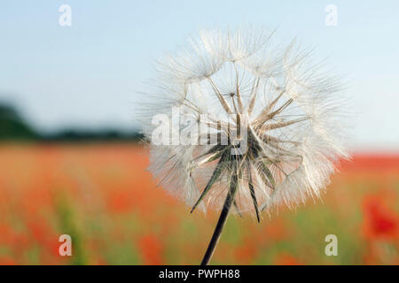 Close-up of a dandelion flower, spring. - Stock Image