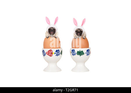 two cute easter pug dogs, sitting in eggs in egg-cup, isolated on white background - Stock Image