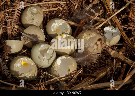 Common Pheasant eggs (Phasianus colchicus) and nest predated by magpies (Pica pica) - Stock Image