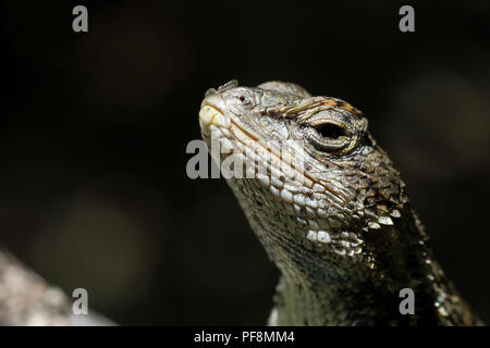 A close-up of an eastern fence lizard. - Stock Image