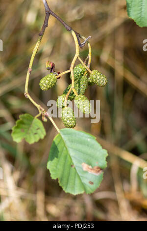 Grey Alder aka speckled Alder Alnus incana leaves and green fruit cones - Stock Image