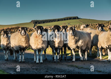 An inquisitive flock of Swaledale sheep facing the camera in bright winter sunshine - Stock Image