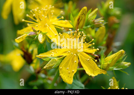 Perforate St. Johns Wort (hypericum perforatum), close up of a single flower with buds. - Stock Image