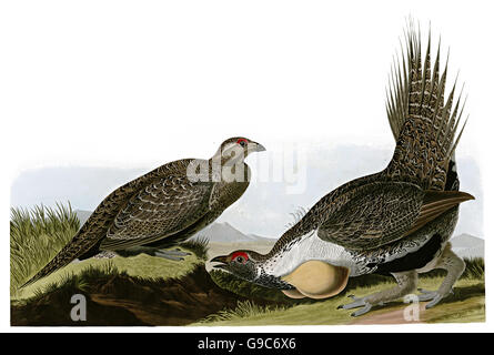 Sage Grouse, Centrocercus wrophasianus, birds, 1827 - 1838 - Stock Image
