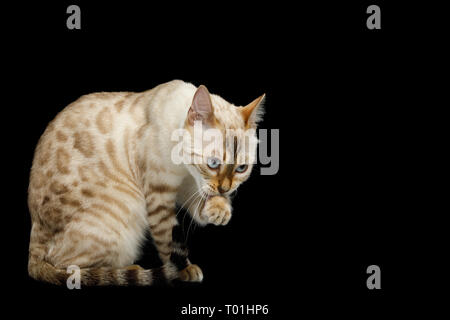 Washes Snow White Bengal Cat with rosette fur Sitting and licking paw on isolated Black Background, side view - Stock Image