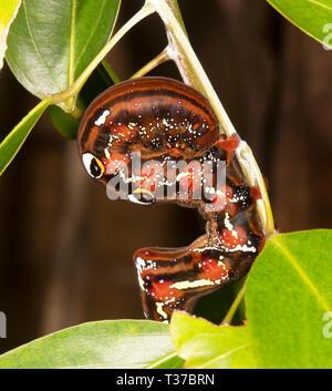 Fruit-piercing Moth Caterpillar (Eudocima salaminia), Cairns, Far North Queensland, QLD, FNQ, Australia - Stock Image