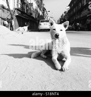 White dog in the street, Kathmandu - Stock Image