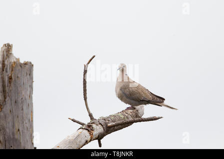 Eurasian collared Dove Perched in Dead Tree - Stock Image