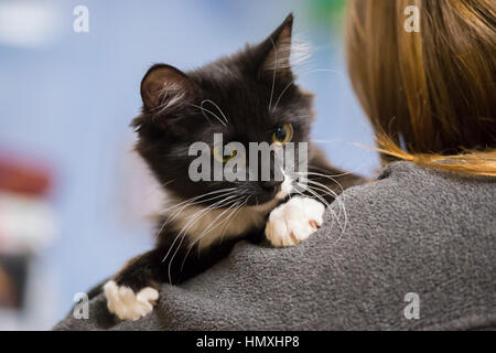 Wantagh, New York, USA. February 5, 2017. SALSA, a five month old black and white domestic female cat is looking - Stock Image
