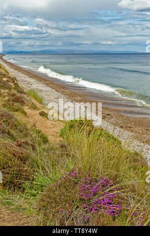 FINDHORN MORAY COAST SCOTLAND PURPLE HEATHER ERICA CINEREA GROWING ON A SAND DUNE NEAR THE SEA - Stock Image
