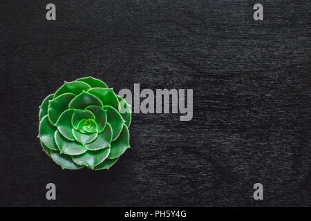 Aeonium on Black Table with Space for Copy - Stock Image