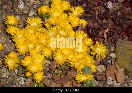 delosperma and other succulents in rock garden, carpet of bright yellow delosperma congestum in spring - Stock Image