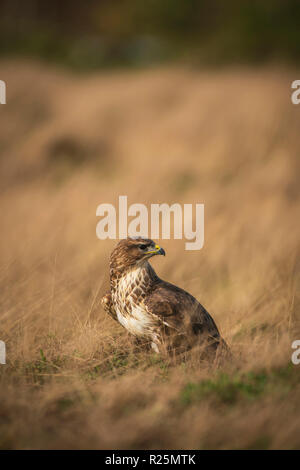 Common Buzzard ,Buteo buteo, feeding on carrion on a meadow covered in dry grass - Stock Image