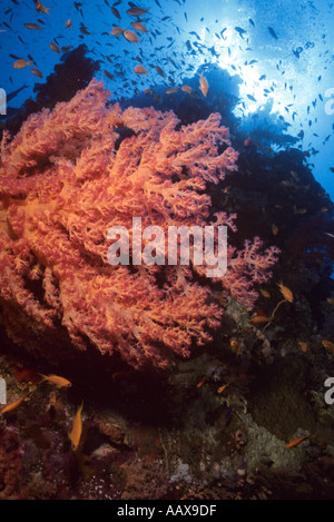 Soft Corals in the Red Sea - Stock Image