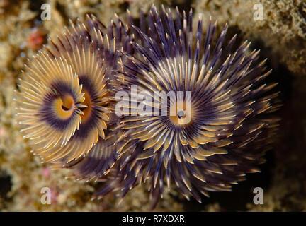 Undescribed bispira worm - Stock Image