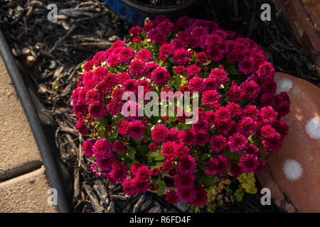 magenta red chrysanthemums growing in a flower pot in Kansas, USA in the autumn. - Stock Image