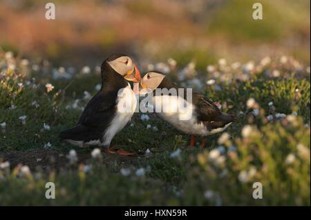 """Atlantic puffin (Fratercula arctica) pair in """"billing"""" display, among sea campion flowers. Skomer Island, Pembrokeshire, - Stock Image"""
