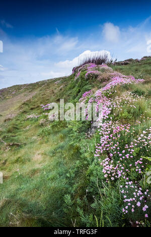 Sea thrift Armeria maritima growing on an old Cornish hedge on the coast of Pentire Point West in Newquay in Cornwall. - Stock Image