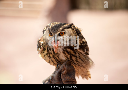 owl on perch with food - Stock Image