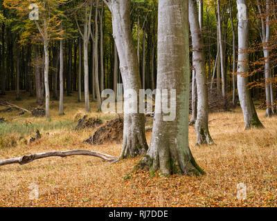 Europa, Deutschland, Mecklenburg-Vorpommern, Insel Rügen, Nationalpark Jasmund, UNESCO-Weltnaturerbe Europäische Buchenwälder, herbstbunte Rotbuchen i - Stock Image