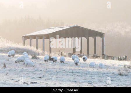 Stirlingshire, Scotland, UK - 2 January 2018: UK weather - sheep in heavy frost on a very cold morning in Stirlingshire, Scotland - Stock Image