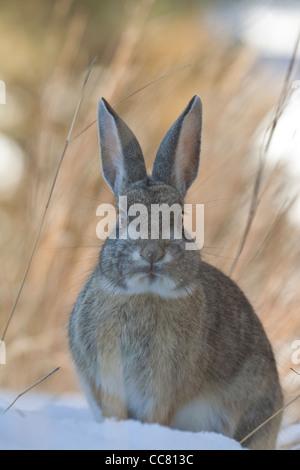 Cottontail Rabbit in snow on winter morning near Flagstaff, Arizona, USA - Stock Image