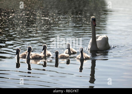 Mute Swan with 6 cygnets (Cygnus olor) swimming in lake at Rockwell College, Cashel, Tipperary, Ireland - Stock Image
