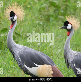 Grey crowned cranes (Balearica regulorum)  in a grassy meadow near Bwindi.  These birds, the national bird of Uganda,  are probably the East African - Stock Image