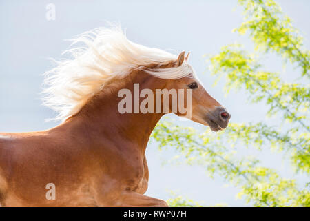 Haflinger Horse. Portrait of adult stallion in a gallop. South Tyrol, Italy - Stock Image