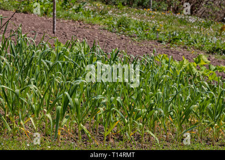An organic vegetable garden with garlic sown. - Stock Image