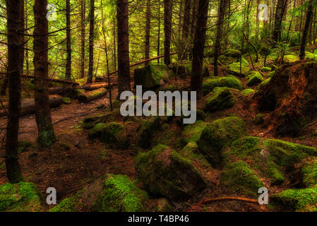 moss covered rocks in pine tree forest wild scenery - Stock Image