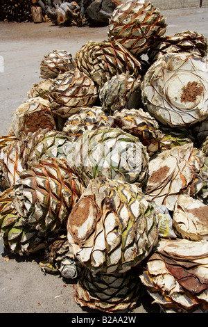 Mezcal Factory Nr Oaxaca, Mexico. Hearts of Blue Agave, Agave cupreata, Called Pineapples and used to Make Mezcal - Stock Image