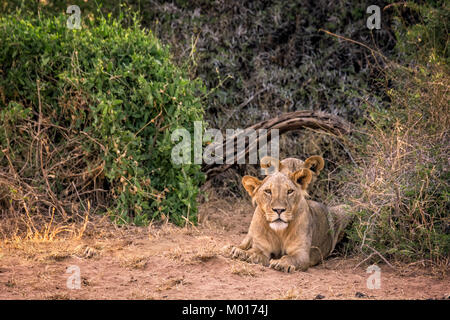 Two wild juvenile Samburu Lions, panthera leo, with the smaller manes typical in Samburu, Buffalo Springs National - Stock Image