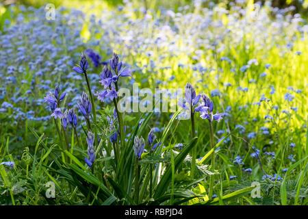Wild bluebell flowers in springtime - Stock Image