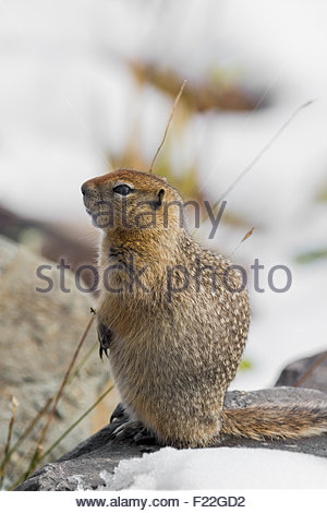 Arctic ground squirrel (Spermophilus parryii) in Denali national Park - Alaska - Stock Image