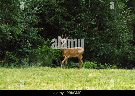 A deer in the field out of the woods nature wildlife animals  fawn in Italy - Stock Image
