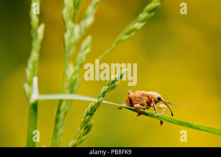 Hazelnut weevil (Curculio nucum) on a grass, La Brenne Regional Natural Park, France, May. - Stock Image