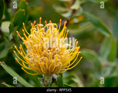 Close up of Yellow pincushion flower, of the protea family. - Stock Image