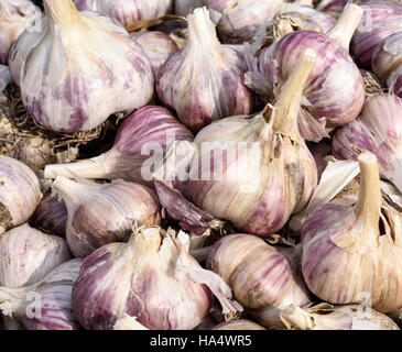 Large group of organic garlic bulbs in natural sunlight - Stock Image