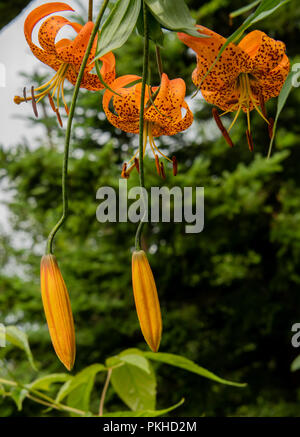Group of Tiger Lilies and Seeds Pods in Summer - Stock Image