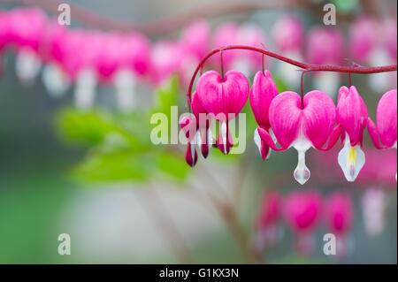 Bleeding Heart flower plant - Stock Image