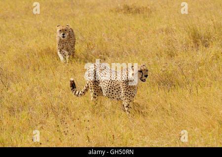zoology / animals, mammal (mammalia), two masculine cheetahs (Acinonyx jubatus), Ngorongoro crater, Ngorongoro Conservation - Stock Image