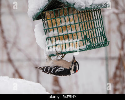 Oak Park, Illinois, USA. 26th November 2018. A male downy woodpecker feast on suet at a birdfeeder after an overnight winter strorm in this suburb just west of Chicago. Credit: Todd Bannor/Alamy Live News - Stock Image