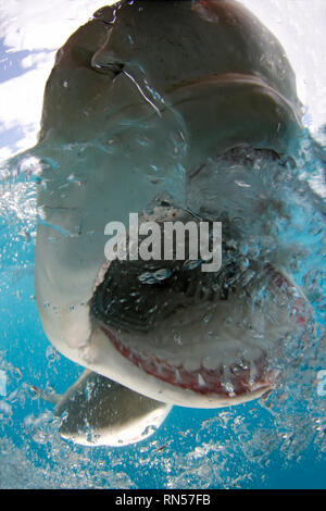 Lemon Shark (Negaprion brevirostris) Split Shot, Open Mouth Showing Teeth at Surface. Tiger Beach, Bahamas - Stock Image