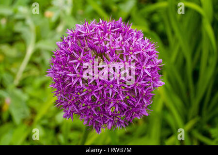 The flower of the Allium Giganteum (Giant Allium or Giant Onion), the tallest ornamental allium in common cultivation - a perennial bulb which produce - Stock Image