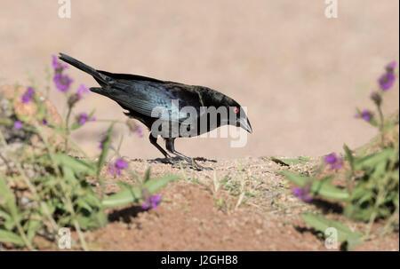 USA, Arizona, Amado. Male bronzed Cowbird. Credit as: Wendy Kaveney / Jaynes Gallery / DanitaDelimont.com - Stock Image